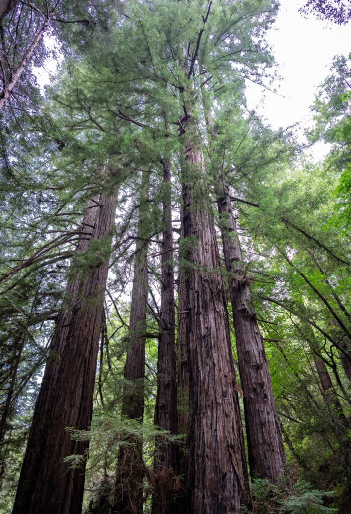 Redwood Trees in Big Sur - Website Design & Photography Based in Chico, CA